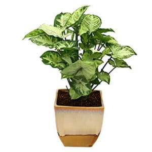 Top 10 Best Indoor Plants for Air Purification In India 9