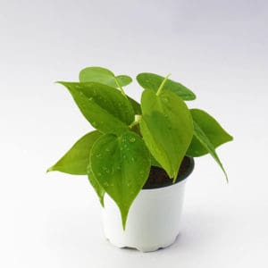 Top 10 Best Indoor Plants for Air Purification In India 4