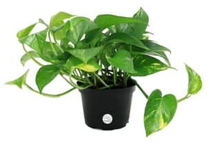 Top 10 Best Indoor Plants for Air Purification In India 6